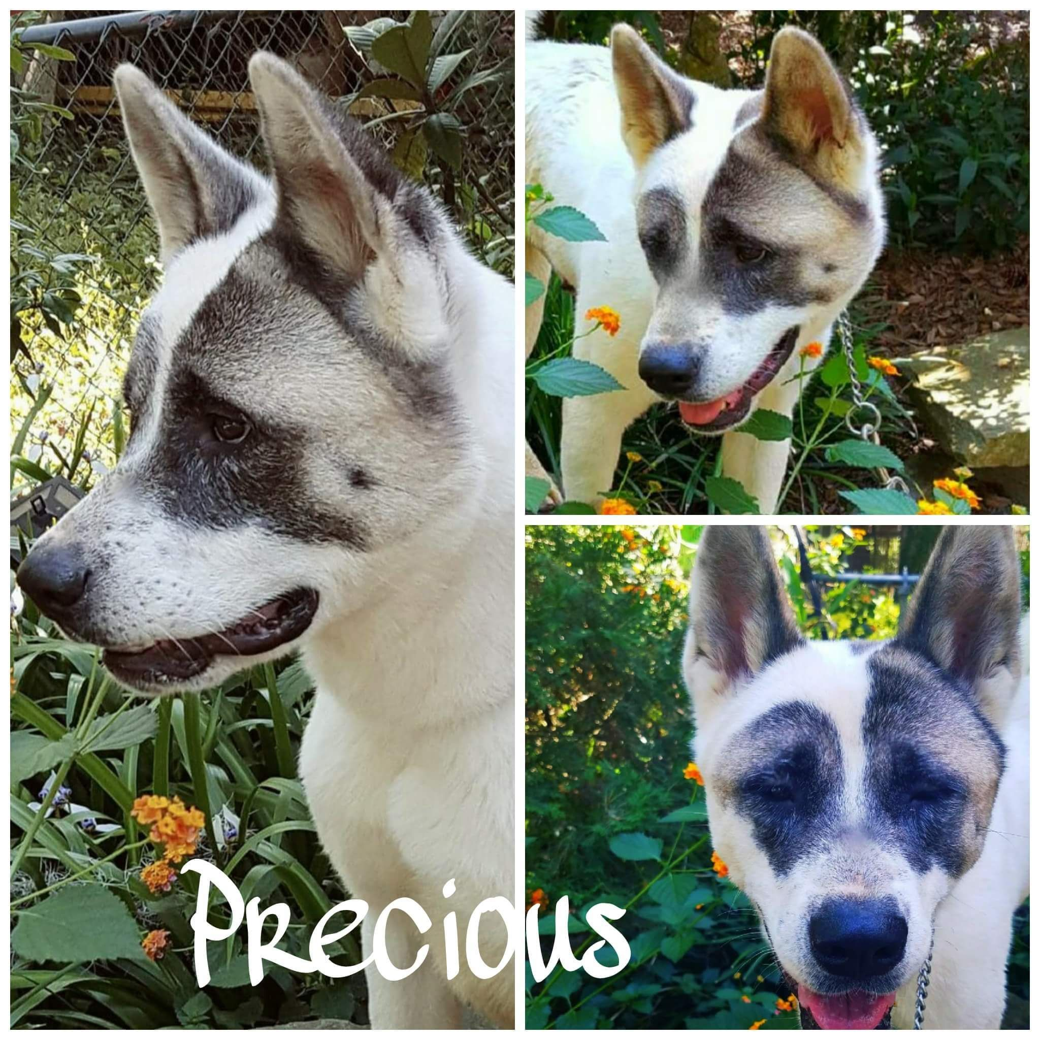 Adopt Precious On Akita Dog Shelter Dogs Dogs