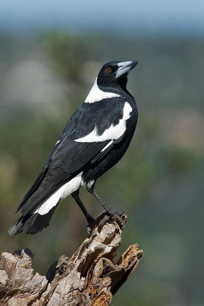 Australian Magpie I Love My Maggies X Australian Native Birds Australian Native Animals Australian Wildlife