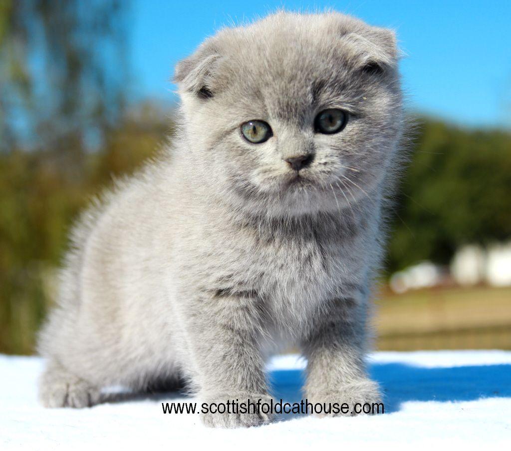 Blue Scottish Fold Female In 2020 Scottish Fold Kittens Scottish Fold Cat Scottish Fold