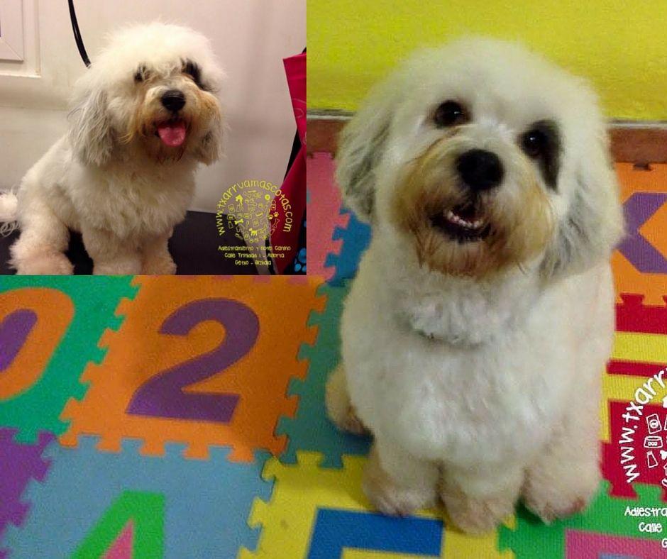 Cortés bonitos y a tijera en la peluquería canina de Txarrua Mascotas en Getxo. Especialistas en stripping y en cortes a tijera para perros.