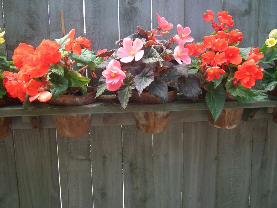 Walk In Garden Box: Begonias In Fence Planter