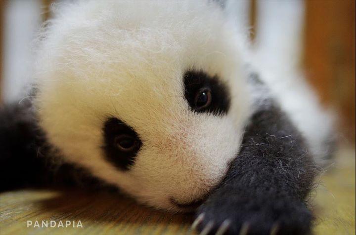 140927 毛毛(マオマオ)の双子の妹。   Love Pandas   Panda, Panda