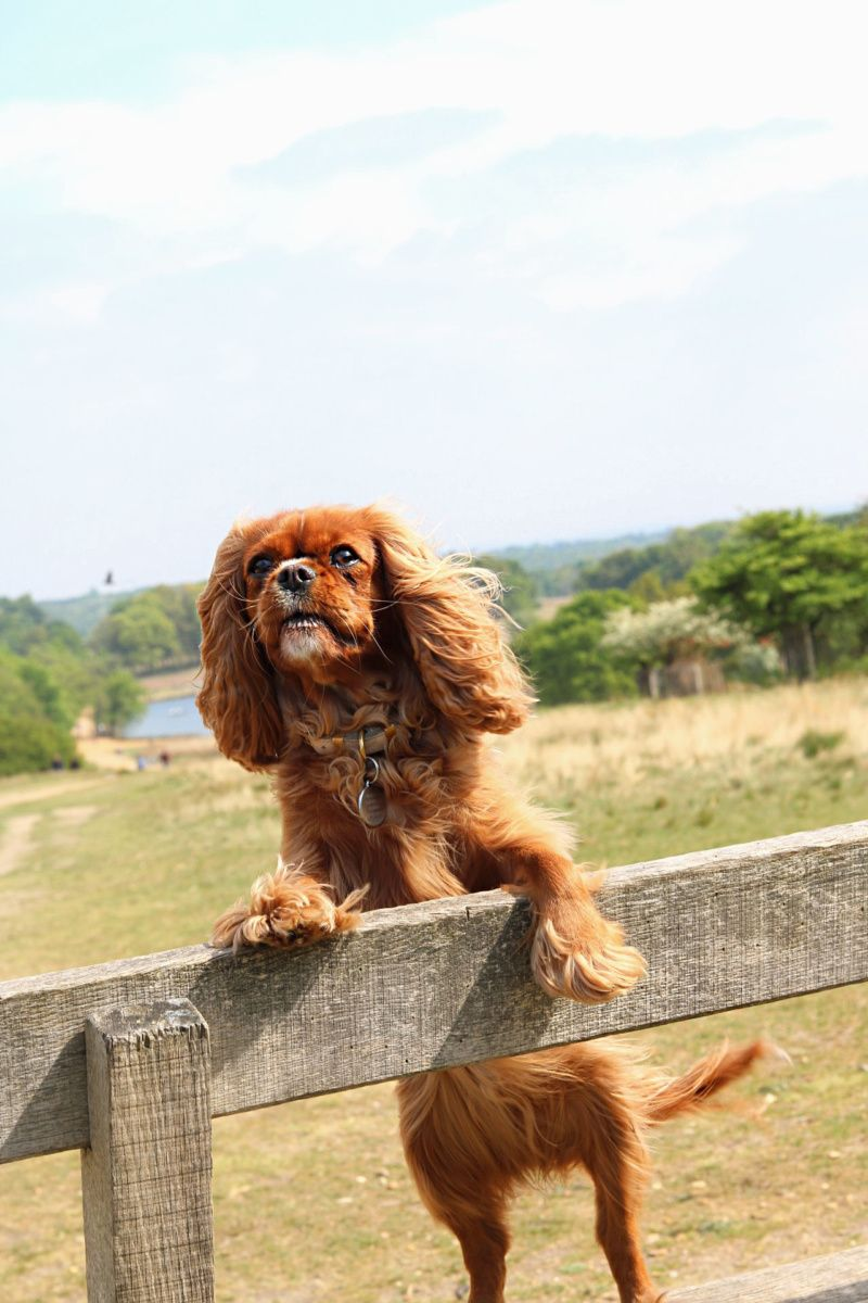 Eva And Amelia S World Support The Big Tick Project Cavalier King Charles King Charles Spaniel King Charles