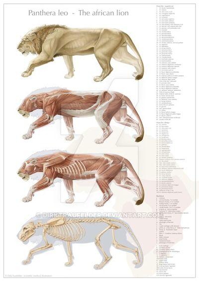 This Is A Series Of Drawings Of A Male Lion S Anatomy