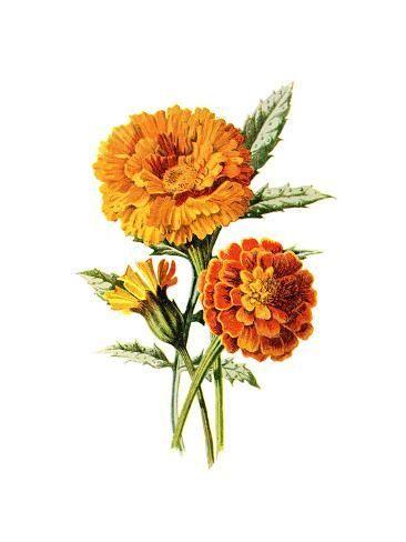 'Marigold Flower' Art Print - Jasmine Woods | Art.com