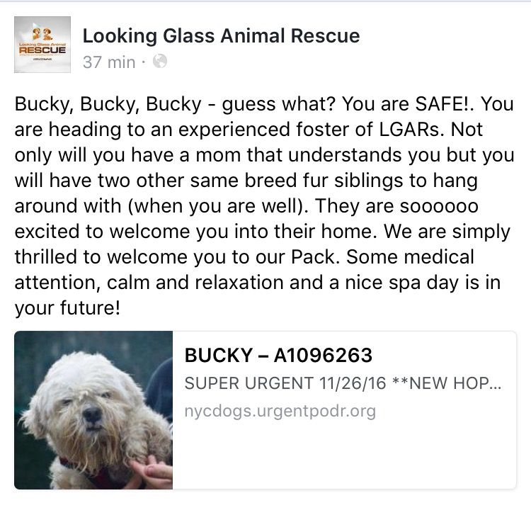 11/26/16 ❤️❤️ BUCKY IS SAFE❤️❤️ THANK YOU❤️❤️/ij