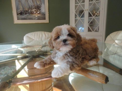 Beautiful Shih Poo Puppies They Are 9 Weeks Old Shih Poo Puppies Shih Poo Puppies