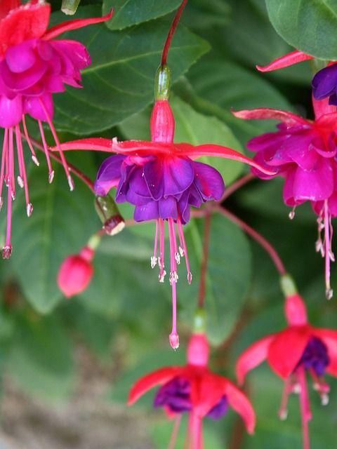 Free Image On Pixabay Fuchsia Blossom Bloom Flower Purple Flowers Types Of Purple Flowers Fuchsia Plant