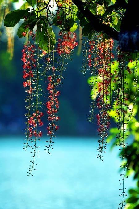 The beauty of Bud flower in Hoan Kiem Lake, Vietnam
