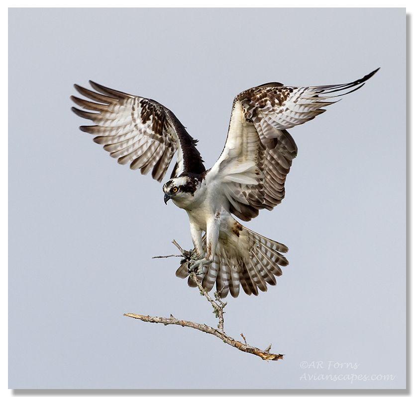 379b628879e17836ceb3d55664d75f4b - How To Get A Hawk Out Of A Building
