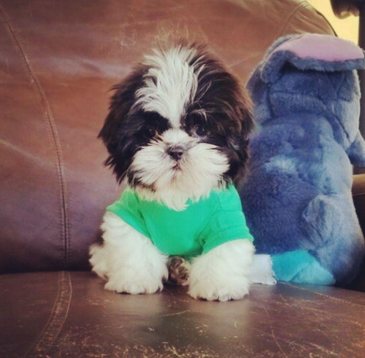 Shih Tzu Puppy For Sale In Los Angeles Ca Adn 24643 On Puppyfinder