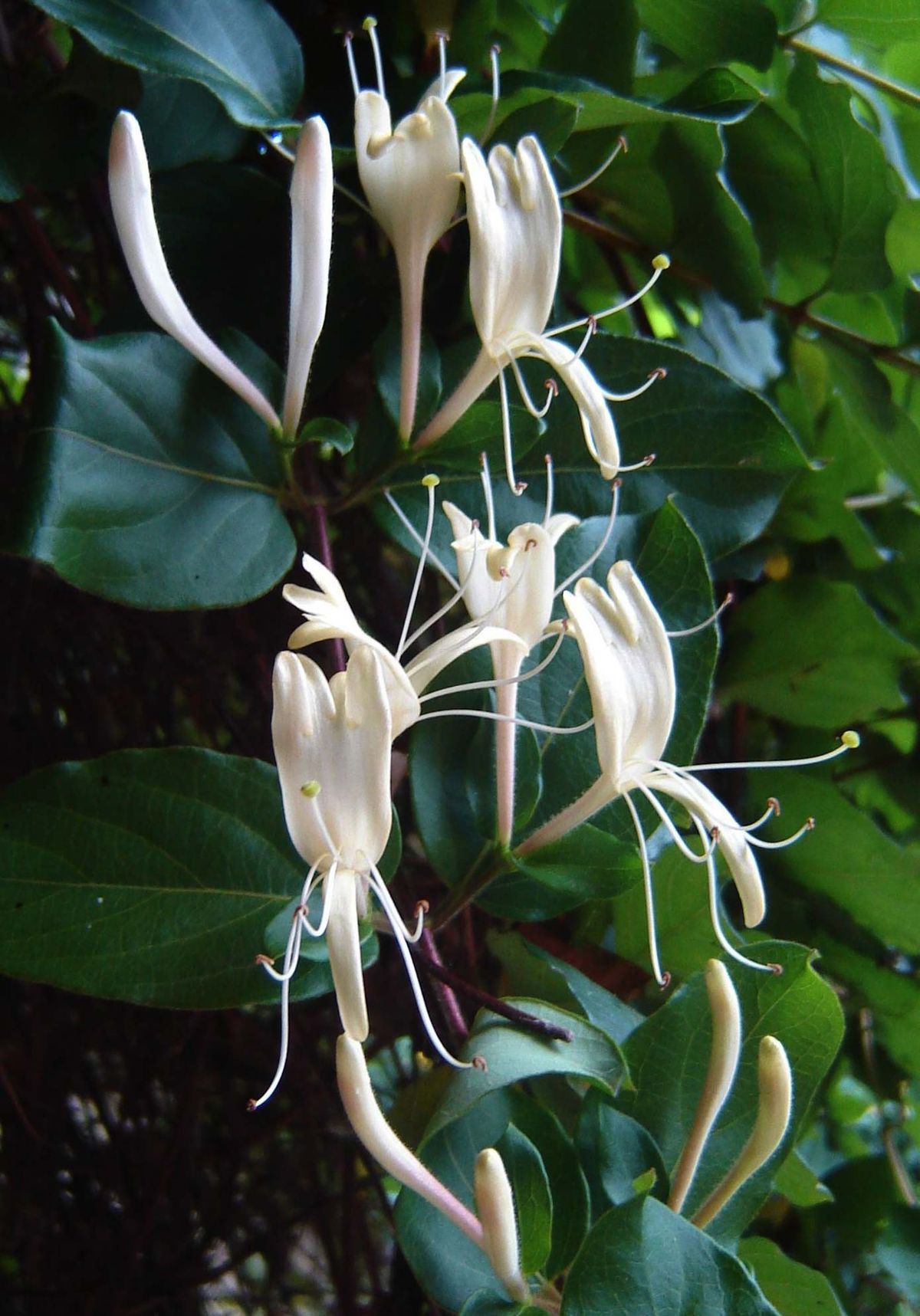 Lonicera Japonica Wikipedia Fleurs Plante Medicinale Vegetal