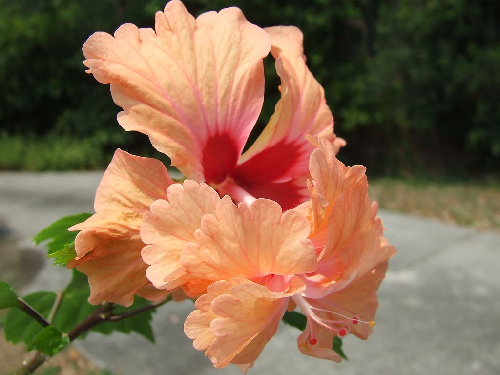 Orange Hibiscus   by Red Dog 3D