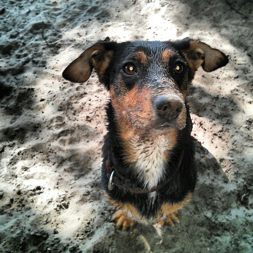El perro croqueta #minit #croqueta #lake #berlin #wet #doxie #doxiemix #dog #beach