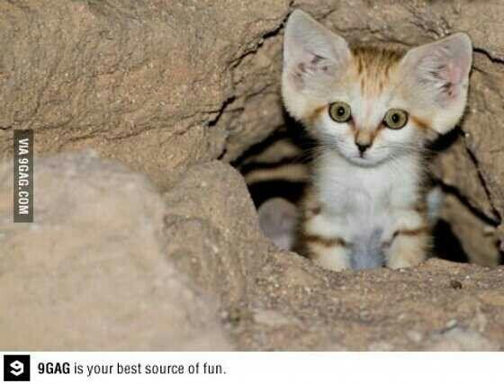 Cute sand cat