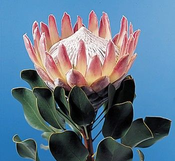 King Protea My Favorite Protea Flower Flowers For Sale Flowers