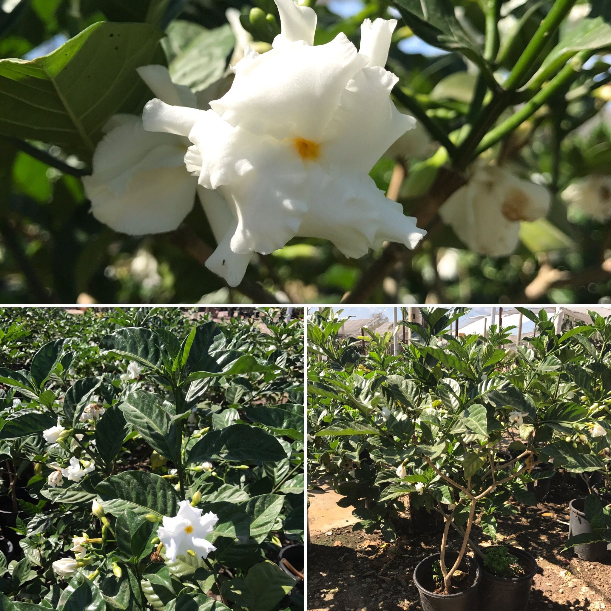 Crape Jasmine Fast Growing Tropical Shrub Fragrant Double White