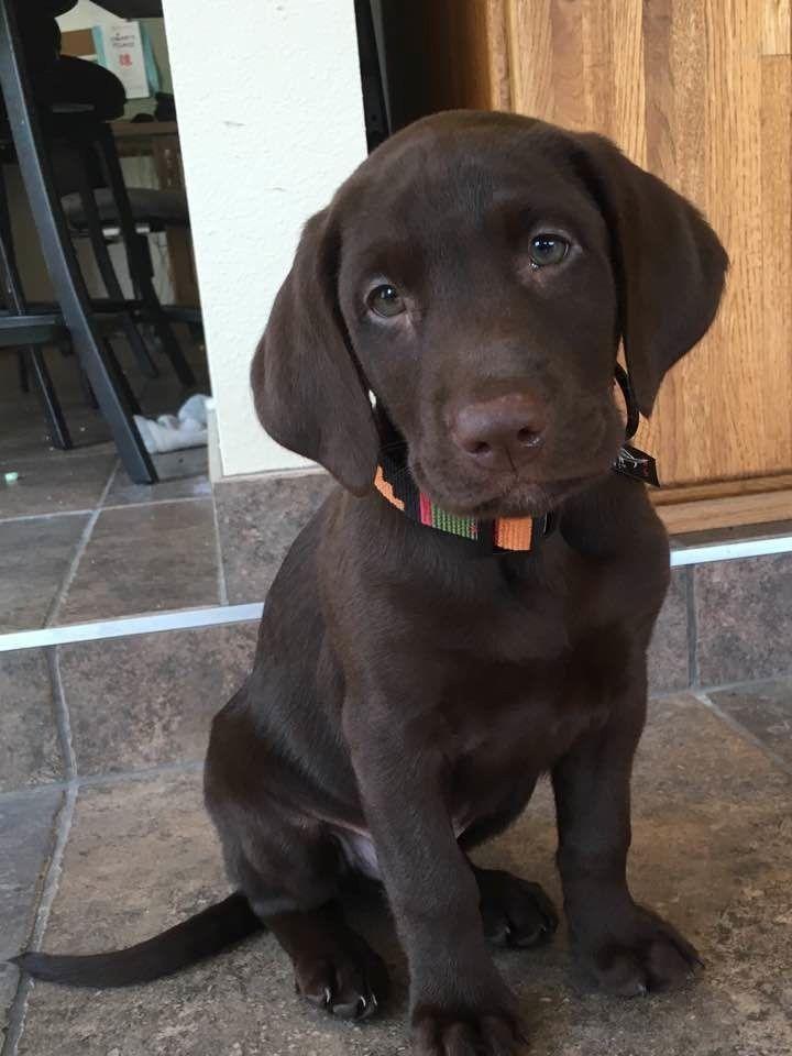Meet Brewster Schwarzer Labrador Retriever Retriever Welpen Hunde