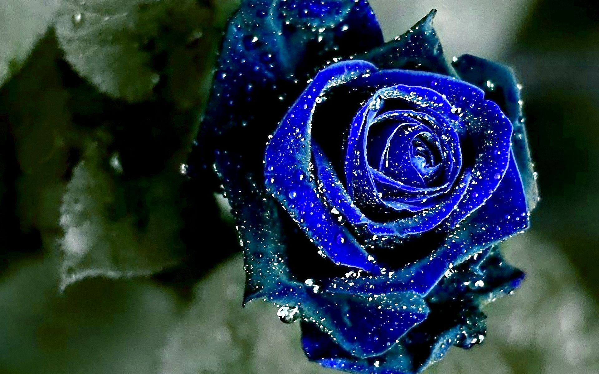 Hd wallpaper rose - Blue Rose Hd Wallpaper