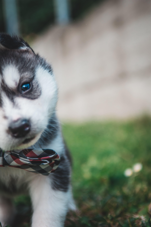 Siberian husky blue eyes Baby Huskies with Blue Eyes ...