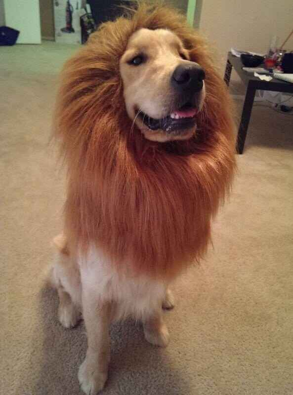 I Am The Lion King Dog Halloween Dog Halloween Costumes Cute