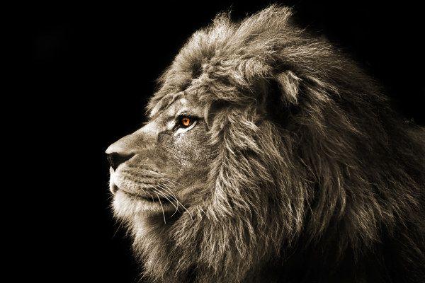 #Löwe #Löwen #Löwenbild #Tiere #Tierbilder #Afrika