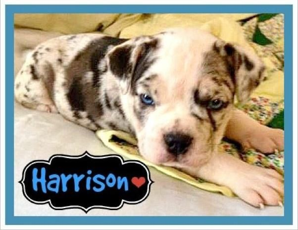Adopt Harrison On Pets Australian Cattle Dog Dogs