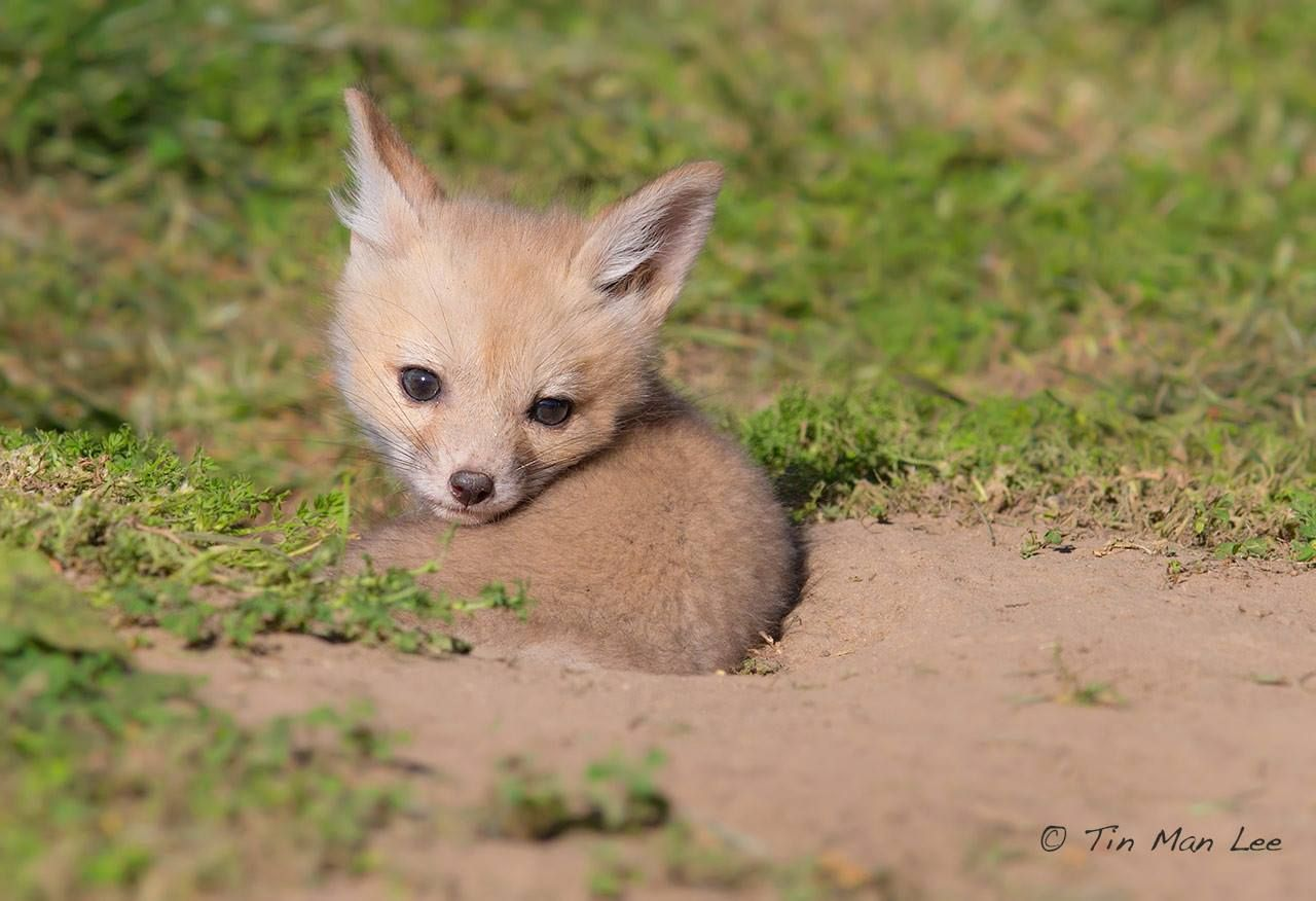 San Joaquin Kit Fox pup just out of the den. Bakersfield