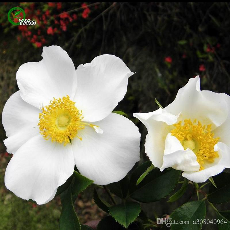 how to grow rose from seeds in hindi