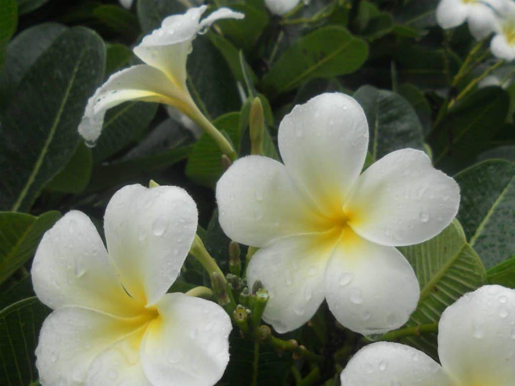 Plumeria Obtusa Singapore Graveyard Flower Flowers Plumeria Flower Lei