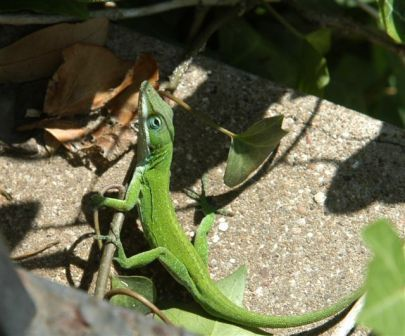 The Most Common Lizards In Texas Gardens Are The Anoles Often Mistakenly Called Chameleons They Are Usually Bright Green And The Males Lizard Anole Pet Care