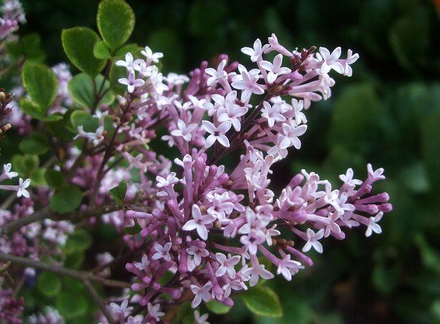 Miniature Lilac Blossoms On Miniature Lilac Bush Things
