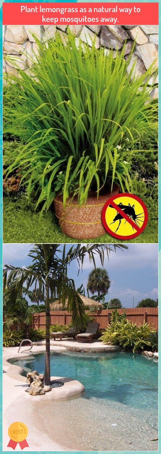 Plant lemongrass as a natural way to keep mosquitoes away ...