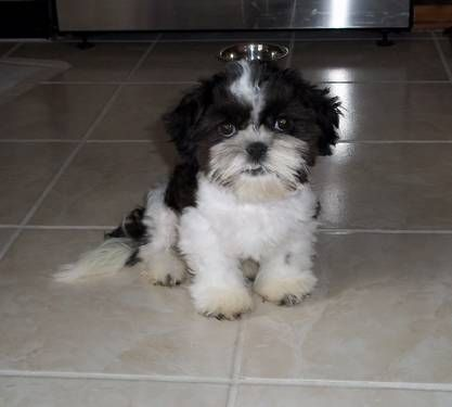 Beautiful Black White Female Shih Tzu Puppy Girl Shihtzu Shih
