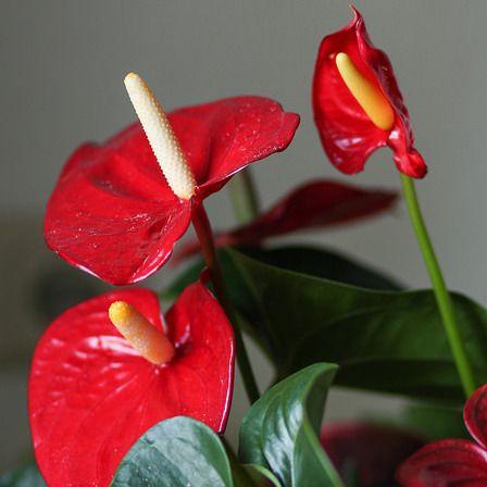 Resultat De Recherche D Images Pour Plante Interieur Fleur Rouge