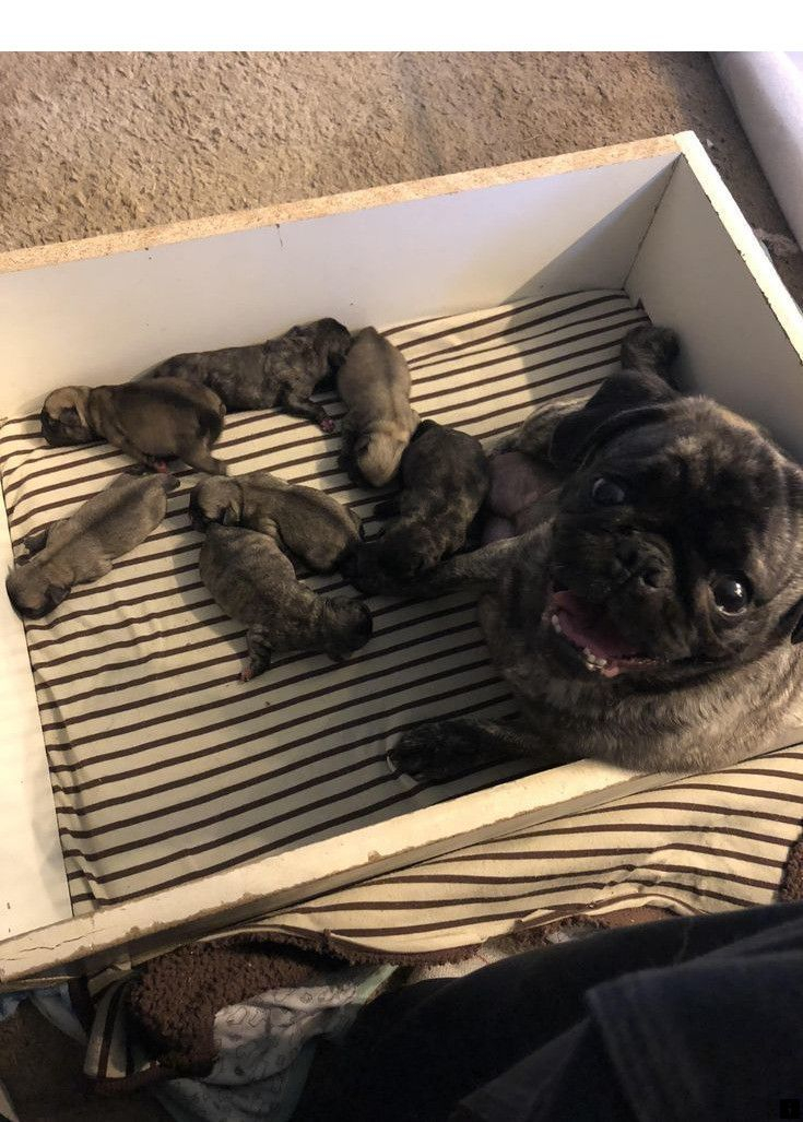 Pin By Kami Jade On Doggy In 2020 Cute Pugs Baby Pugs Pugs Funny