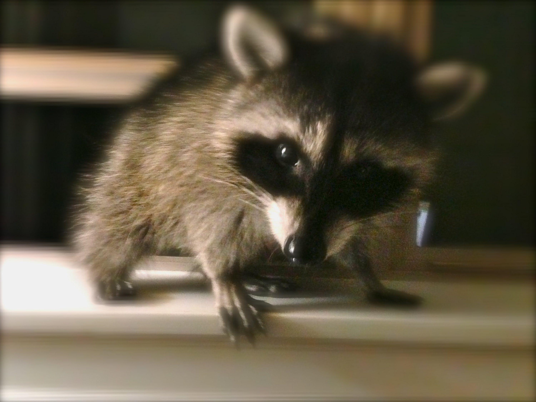 baby raccoon sleeping - Google Search | Rassoon | Pinterest | Baby ...