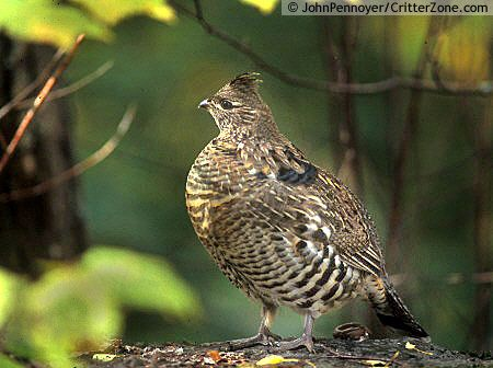 pennsylvania state bird images ruffed grouse bonasa umbellus pennsylvania state bird state
