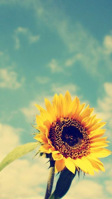 All Things Shabby and Beautiful Sunflower wallpaper