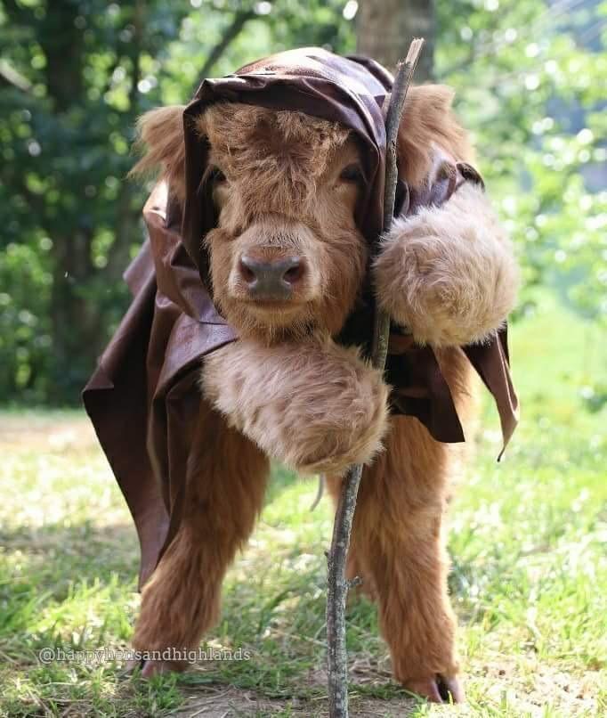 Highland Cow Ewok Cosplay http://ift.tt/2vIpkQ7