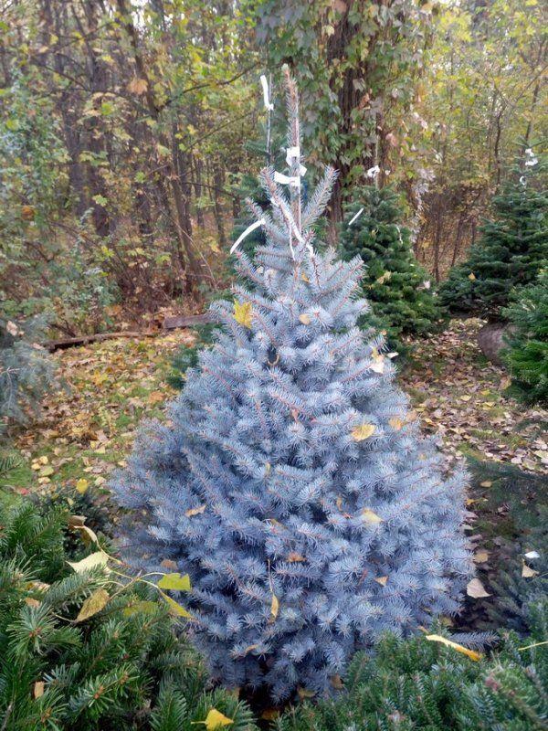 Купить Ель голубая колючая Эдит экстра Picea Pungens Edith Extra 1 75