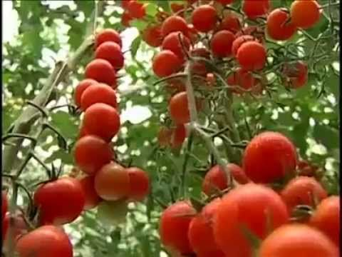 Tomato production (Amazing Agriculture Technology)
