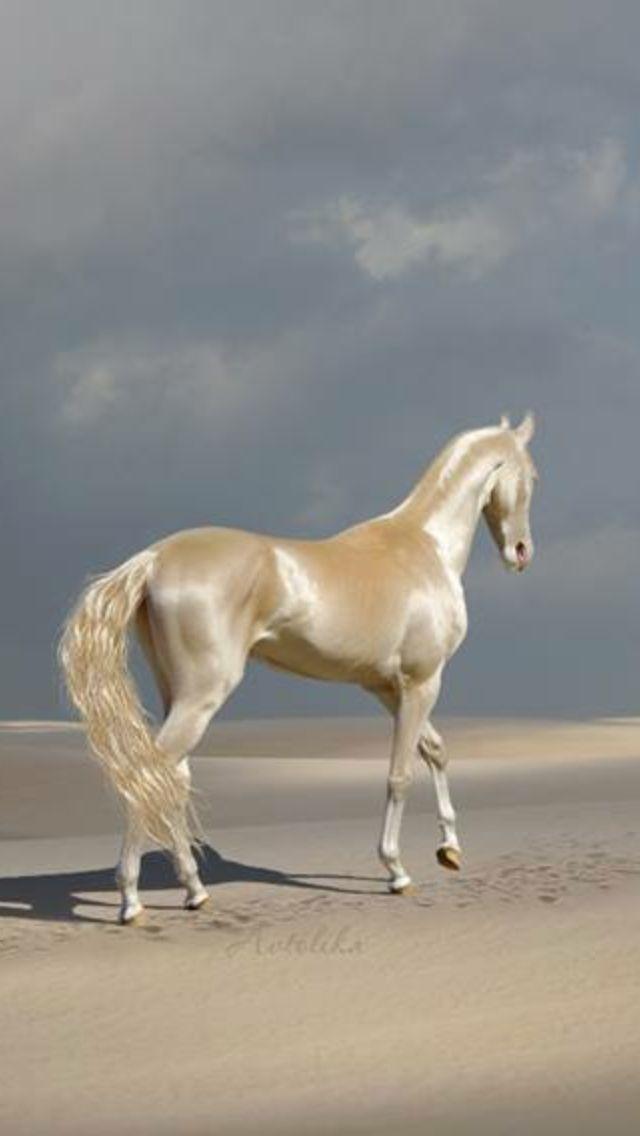 Akhal-Teke, cheval d'une grande beauté, originaire du Turkménistan, état d'Asie Centrale sur la mer Caspienne, capitale : Achgabat. #prettypics