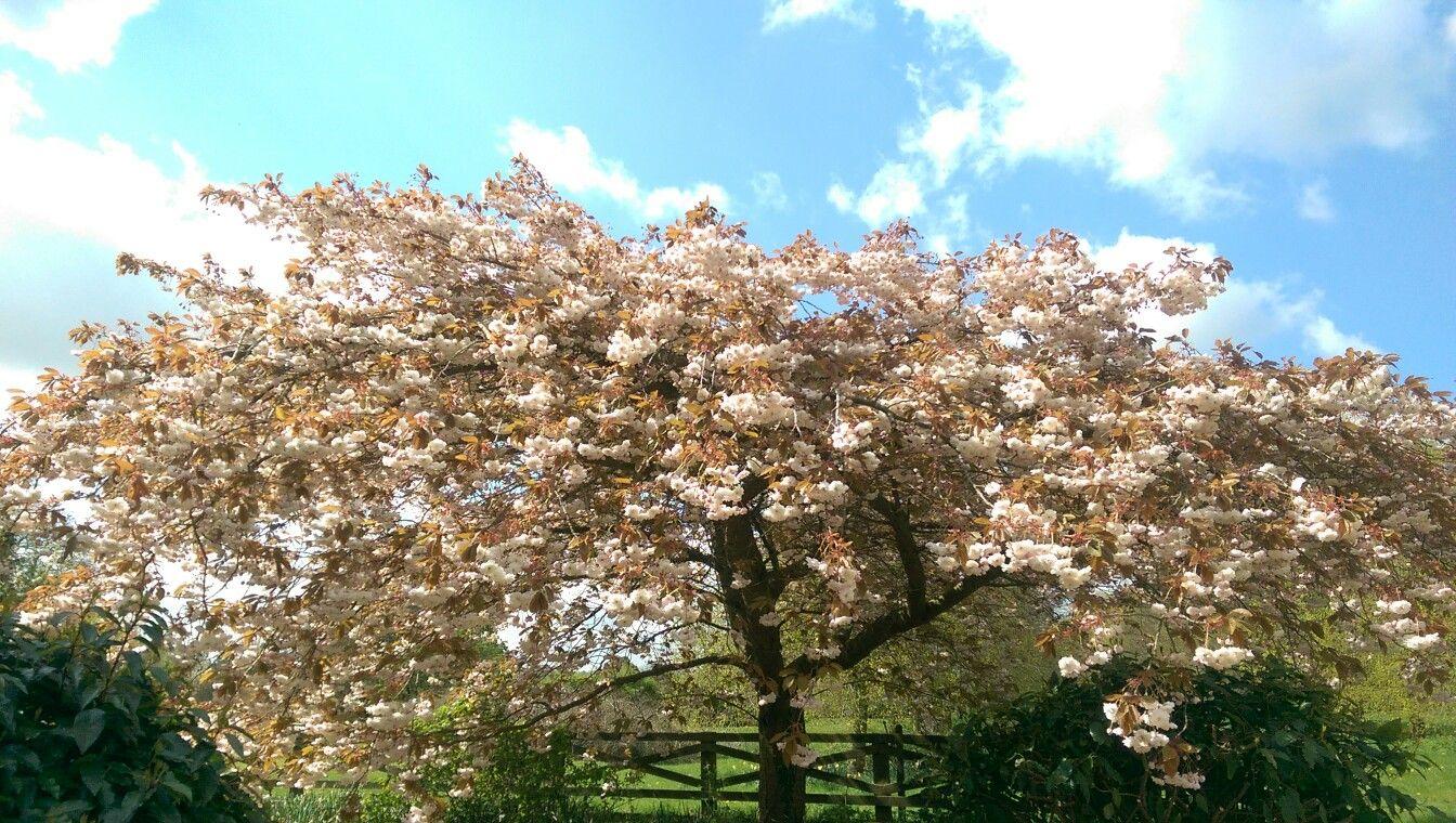 Prunus Shirofugen | Gardening | Pinterest | Prunus and Gardens