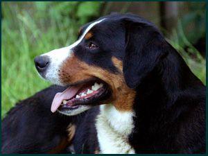 Appenzeller Sennenhunde Canada S Guide To Dogs Appenzeller Dog Dog Portraits Herding Cattle