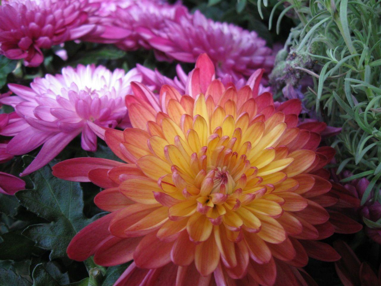 Chrysanthemum Flower Chrysanthemum Chrysanthemum Flower Crysanthemum Flower