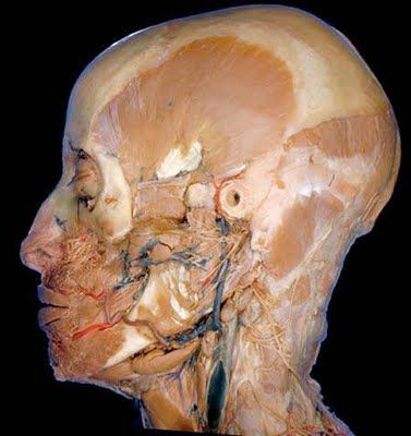 Cadaver dissection - great images (not for the squeamish) | -A Time ...