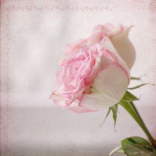 Roses | odile lm