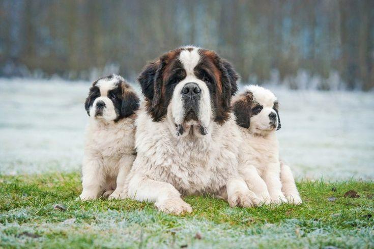 Saint Bernard Dog and Puppies (información de raza del sitio web) -