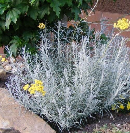 Helichrysum Italicum Curry Plant Aromatic Love The Way It